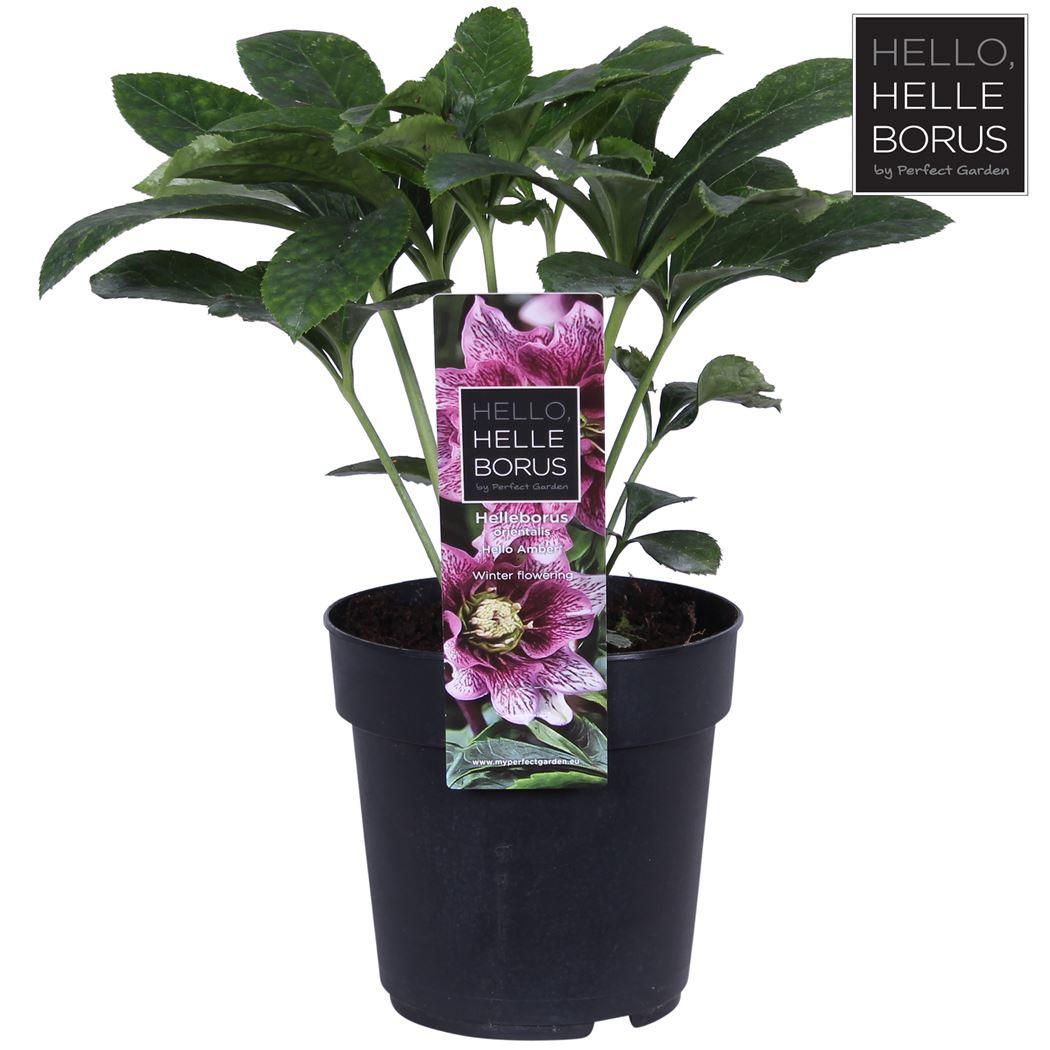 helleborus orientalis 'hello amber'®