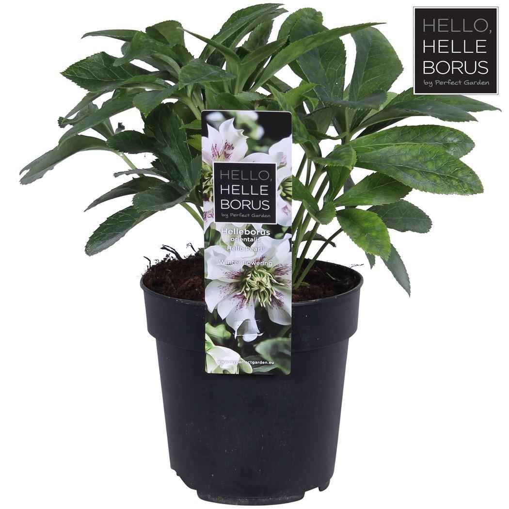 helleborus orientalis 'hello pearl'®