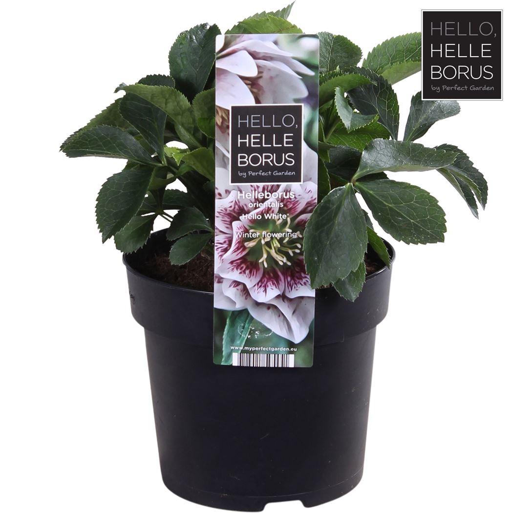 helleborus orientalis 'hello white'®