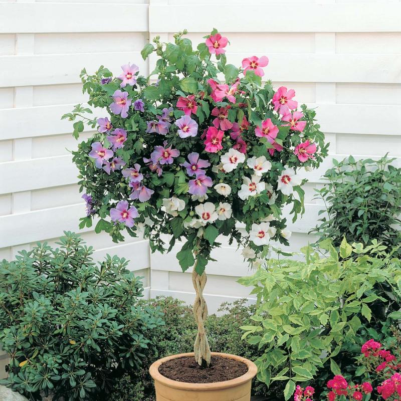 hibiscus syriacus 'tricolor'