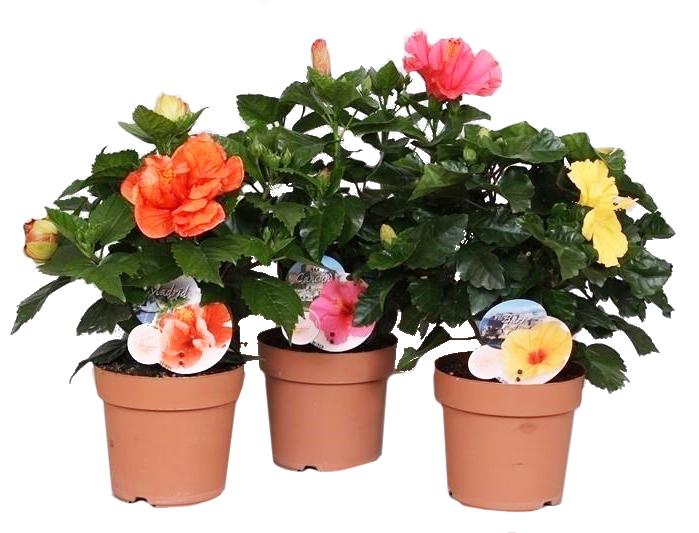hibiscus voor terras en kamer