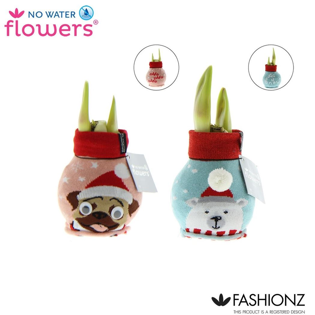 hippeastrum of amaryllis no water flowers® fashionz fun dog & ice bear