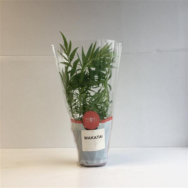 bio huacatay (citroen afrikaantje)