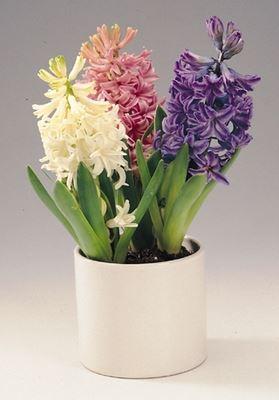 hyacint gemengd (3 bollen/pot)
