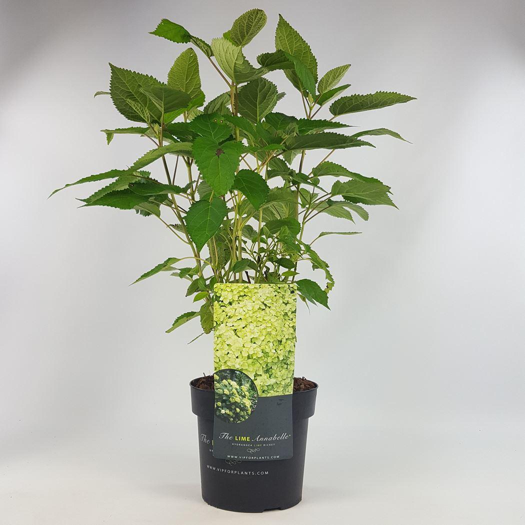 hydrangea arborescens 'lime rickey'®