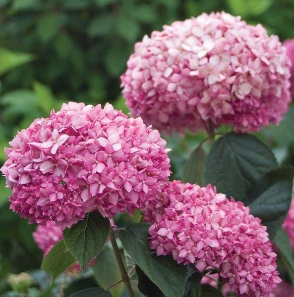 hydrangea arborescens 'pink annabelle'®
