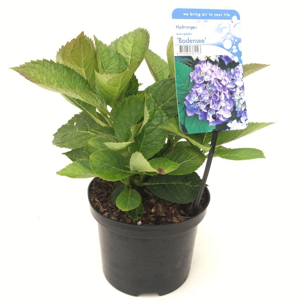 hydrangea macrophylla 'bodensee'