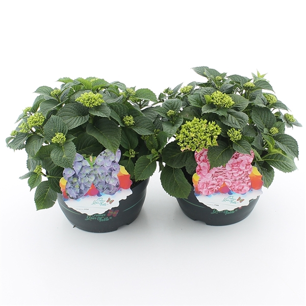 hydrangea macrophylla 'colour your table'®