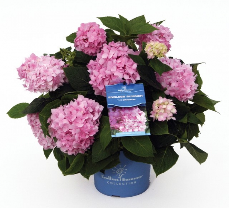 hydrangea endless summer 'bloom star pink'