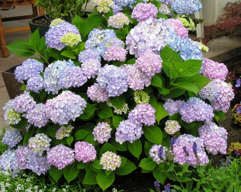 hydrangea endless summer 'twist and shout teller bleu'