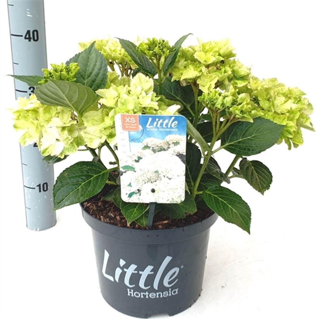 hydrangea macrophylla 'little white'