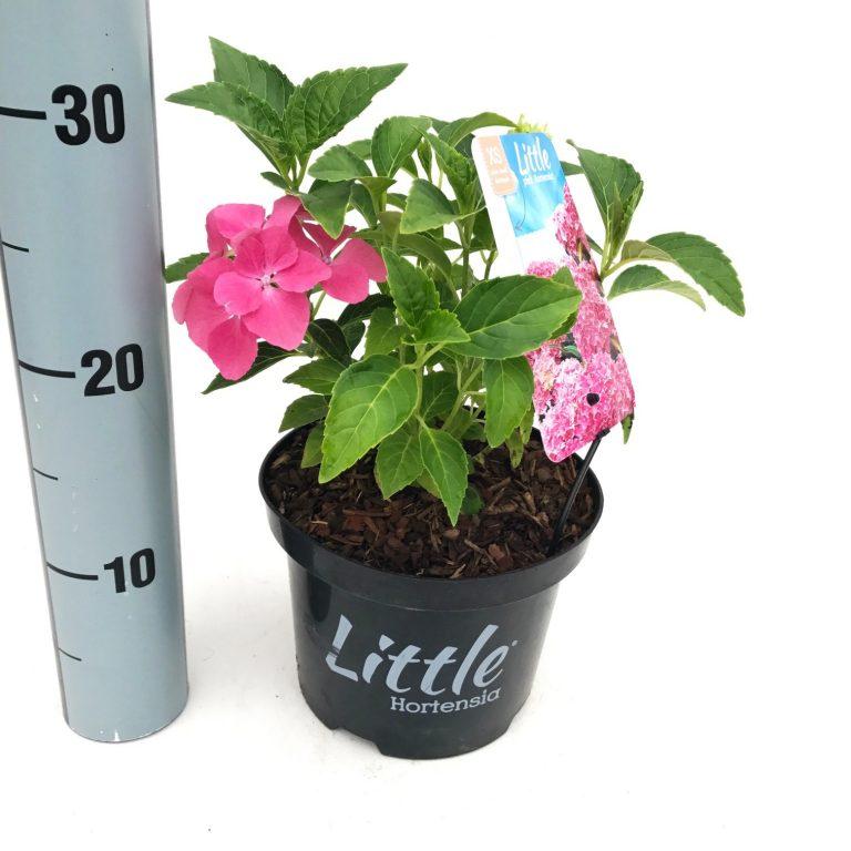 hydrangea macrophylla 'little XS'