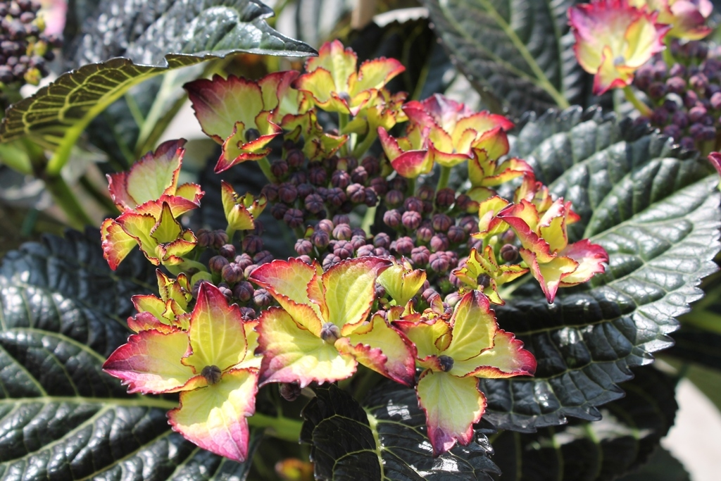 hydrangea macrophylla 'black diamonds'