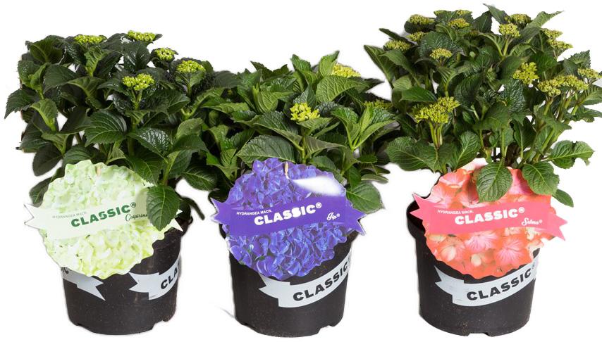 hydrangea macrophylla classic