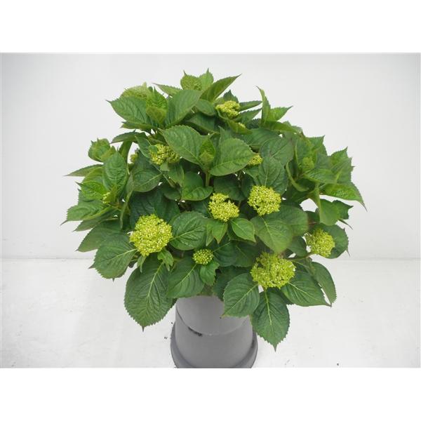 hydrangea macrophylla 'king george'
