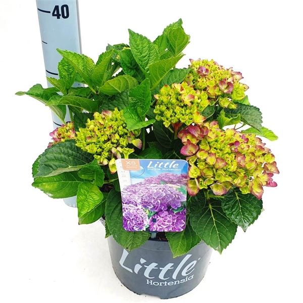 hydrangea macrophylla 'little purple'