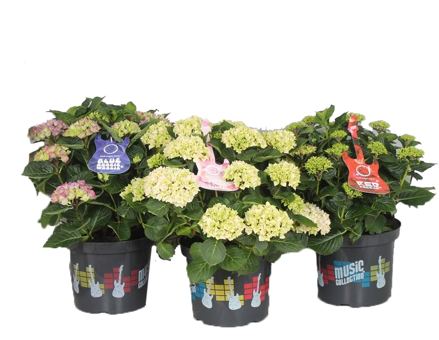 hydrangea macrophylla 'music collection'
