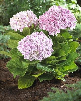 hydrangea macrophylla 'peppermint'®
