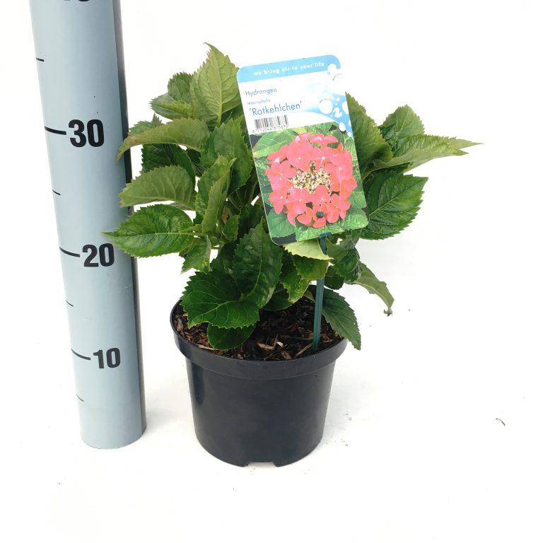 hydrangea macrophylla 'rotkehlchen'