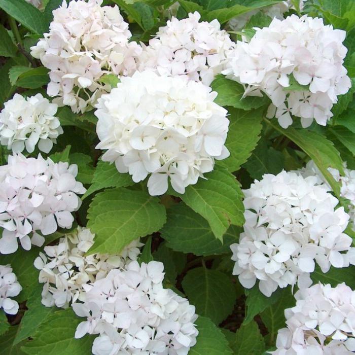 hydrangea macrophylla 'soeur thérèse' wit