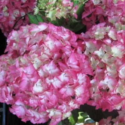hydrangea macrophylla teller 'selma'