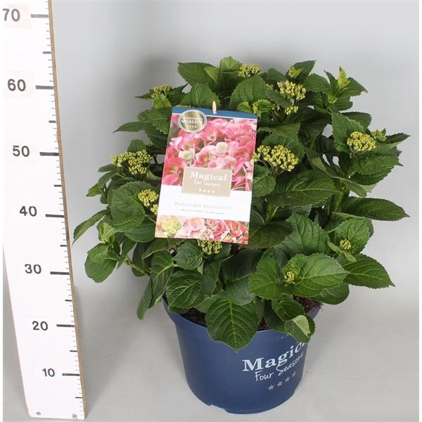 hydrangea macrophylla 'magical four seasons'