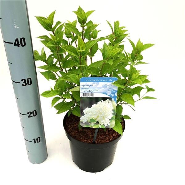hydrangea paniculata 'limelight'®