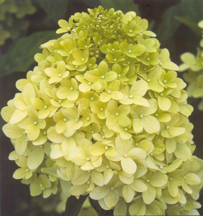 hydrangea paniculata 'little lime'®