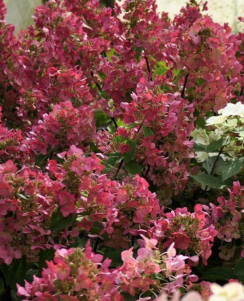 hydrangea paniculata 'mega mindy'®