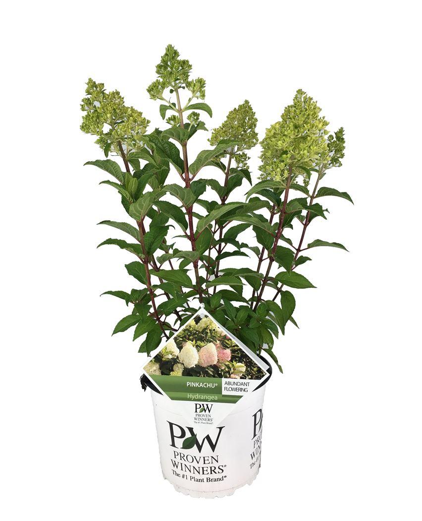 hydrangea paniculata 'pinkachu'®