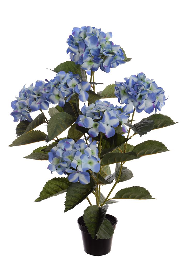 hydrangea plant in pot blue