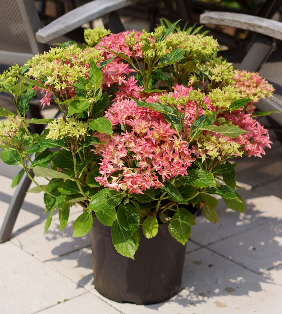 hydrangea macrophylla 'princess diana'®