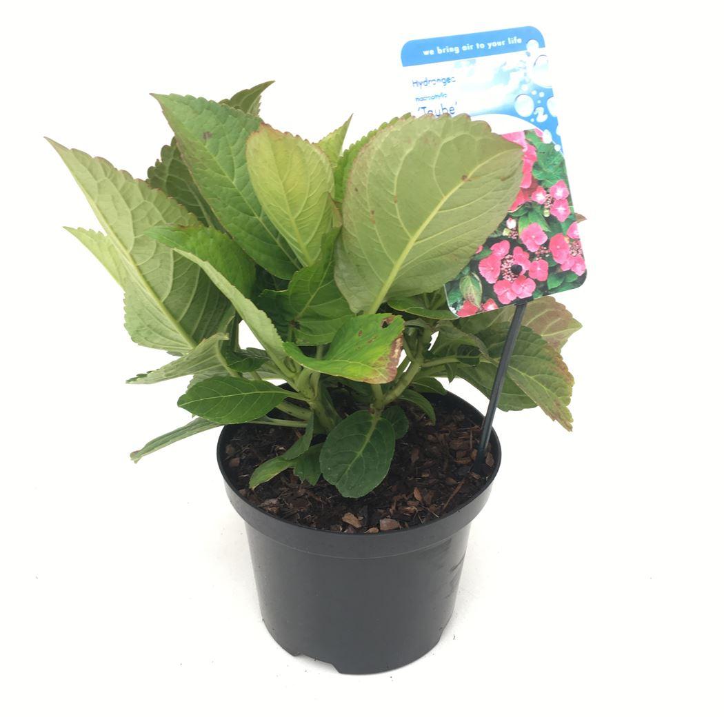 hydrangea macrophylla teller 'taube'