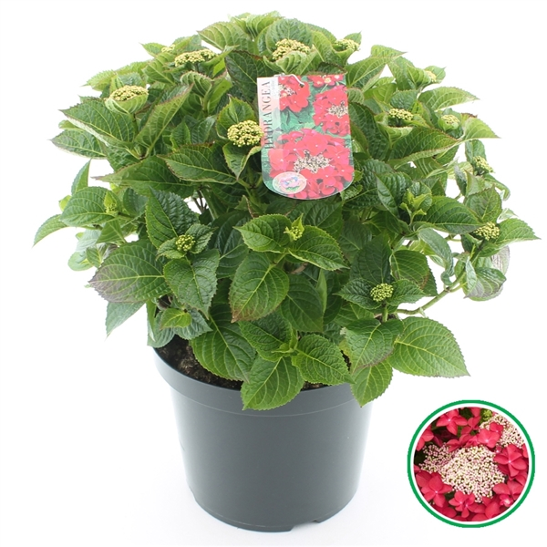 hydrangea macrophylla teller in soorten