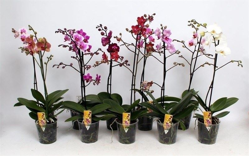 phalaenopsis gemengd promo 2 tot 3 bloemstelen