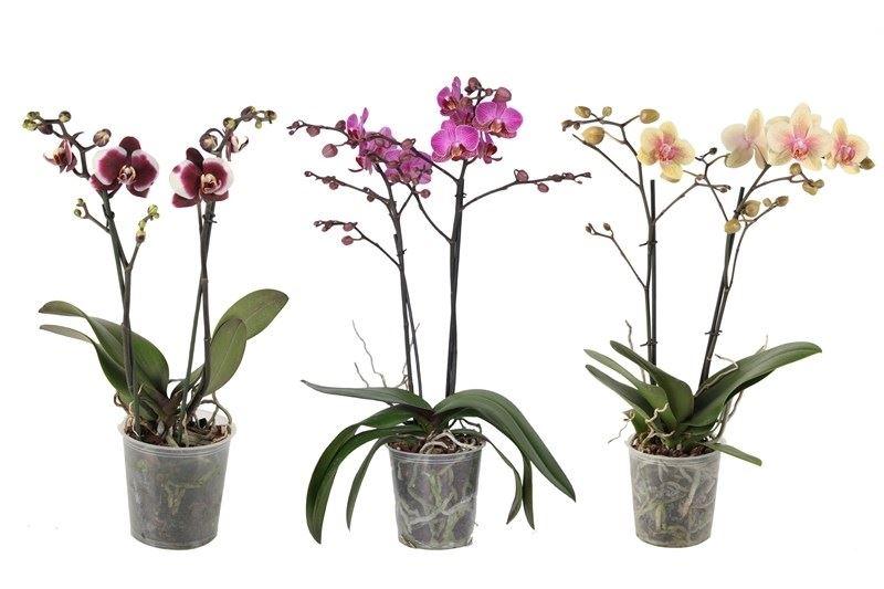 phalaenopsis gemengd 2 tot 3 bloemstelen