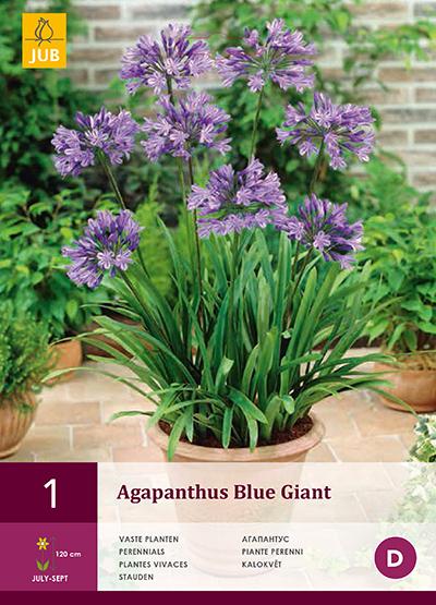 jub agapanthus blue giant 1/2
