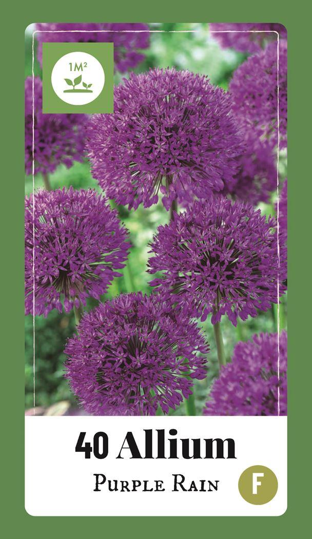 jub allium purple rain (40sts)