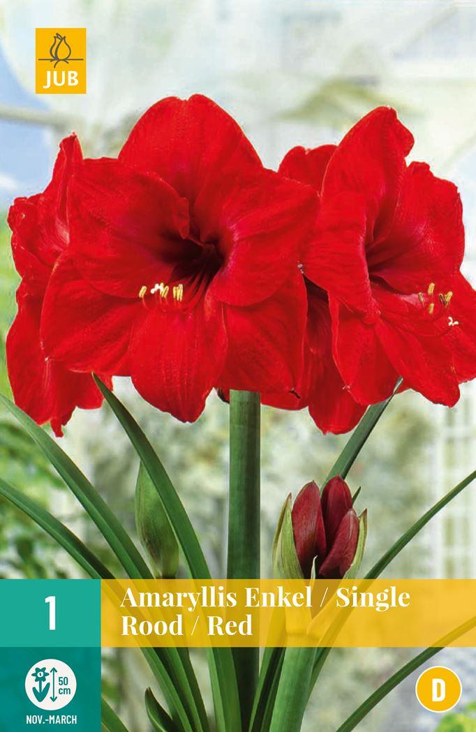 jub amaryllis rood (1sts)