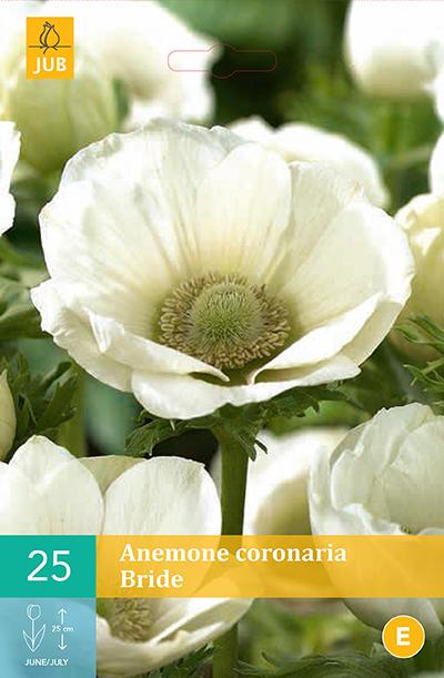 jub anemone coronaria bride vj 6/7 (15sts)