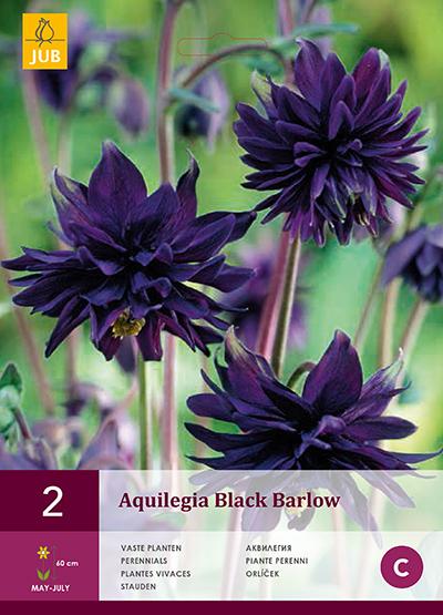 jub aquilegia black barlow i (2sts)