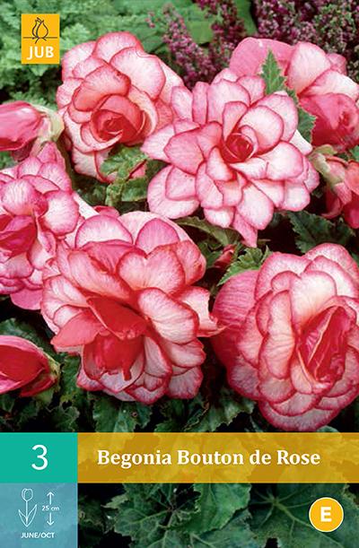 jub begonia bouton de rose 5/6 (3sts)