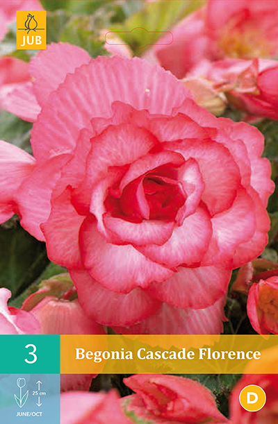 jub begonia cascade florence 4/5 (3sts)