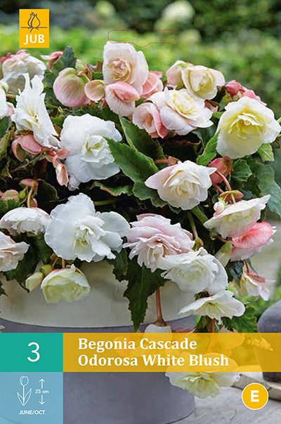 jub begonia cascade odorosa white blush 5/6 (3sts)