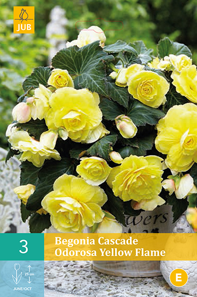 jub begonia cascade odorosa yellow flame 5/6 (3sts)