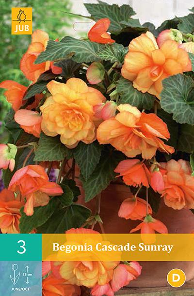 jub begonias cascade sunray 4/5 (3sts)