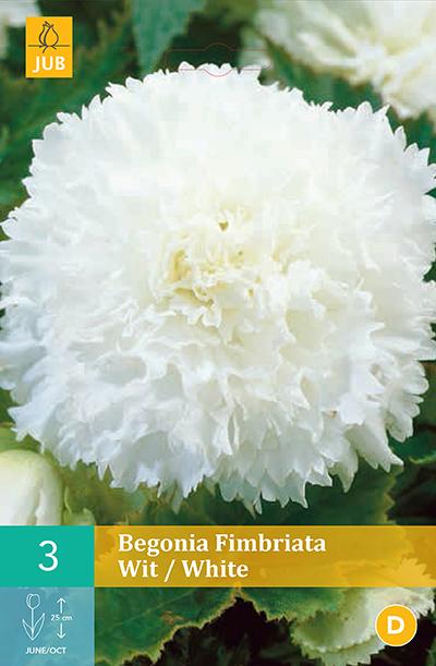jub begonias fimbriata wit 5/6 (3sts)