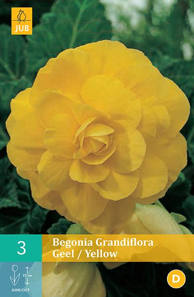 jub begonias grandiflora geel 5/6 (3sts)