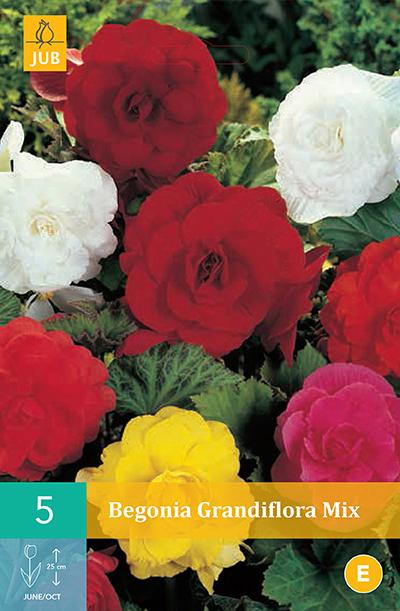jub begonias grandiflora mix 5/6 (5sts)