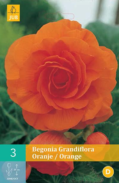 jub begonias grandiflora oranje 5/6 (3sts)